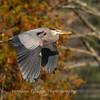 Great Blue Heron 19 Nov 2018-6671