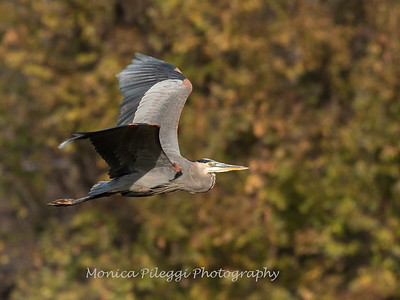 Great Blue Heron 19 Nov 2018-6664