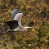 Great Blue Heron 19 Nov 2018-6664