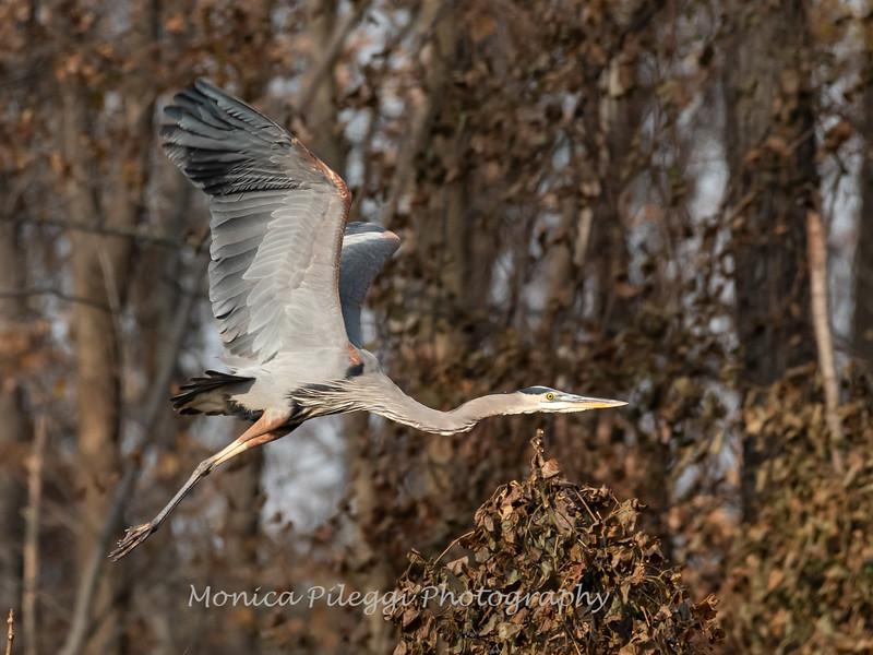 Great Blue Heron 19 Nov 2018-6659