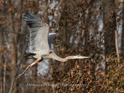 Great Blue Heron 19 Nov 2018-6659
