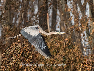 Great Blue Heron 19 Nov 2018-6661