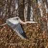 Great Blue Heron 19 Nov 2018-6661
