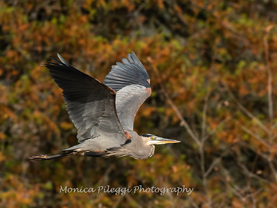 Great Blue Heron 19 Nov 2018-6669