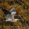 Great Blue Heron 19 Nov 2018-6669
