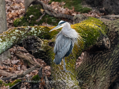 Great Blue Heron 19 Nov 2018-6702