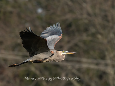 Great Blue Heron 19 Nov 2018-6675