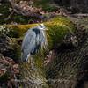 Great Blue Heron 19 Nov 2018-6710