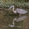 Great Blue Heron 19 Oct 2018-0058