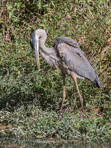 Great Blue Heron 19 Oct 2018-0067