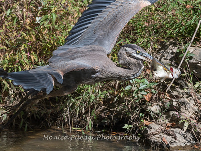Great Blue Heron 19 Oct 2018-0080