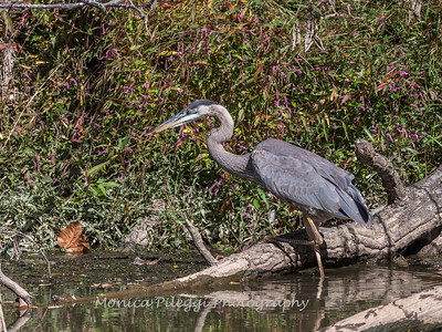 Great Blue Heron 19 Oct 2018-0047