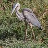 Great Blue Heron 19 Oct 2018-0068