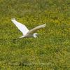 Great White Heron 25 June 2018-0513
