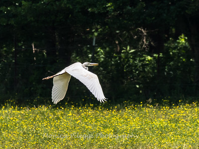 Great White Heron 25 June 2018-0519