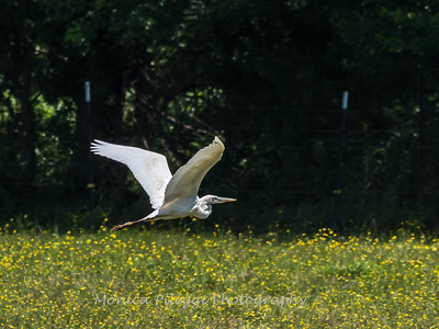 Great White Heron 25 June 2018-0517