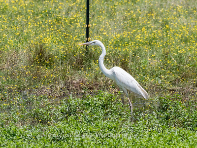 Great White Heron 25 June 2018-0507