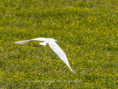 Great White Heron 25 June 2018-0509