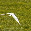 Great White Heron 25 June 2018-0509
