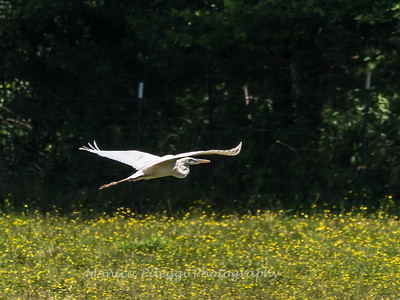 Great White Heron 25 June 2018-0518