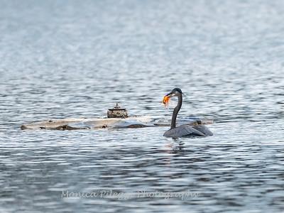 Great Blue Heron 20 Nov 2018-6812