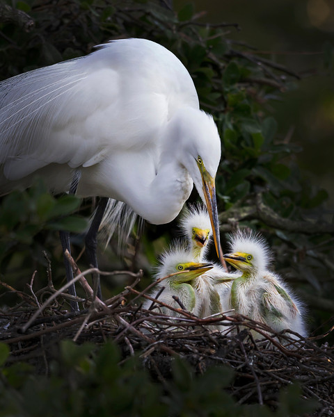 The Great Egret Family