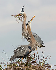 Great Blue Heron's Courtship & Nest-building