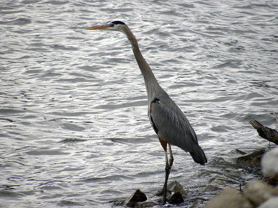 Great Blue Heron on Lake Springfield, IL