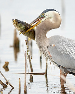 Great Blue Heron Hunting Food