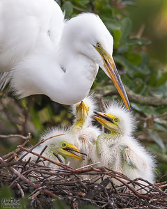 Great Egret & Chicks