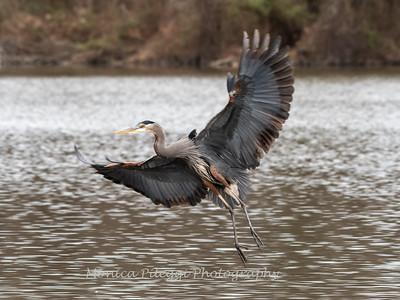 Great Blue Heron 23 Dec 2018-3159
