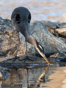 Great Blue Heron 23 Dec 2018-2947