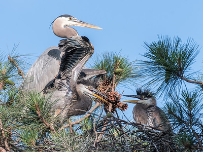 Great Blue Heron Nest June 2018-8944