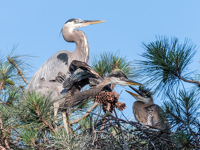 Great Blue Heron Nest June 2018-8948