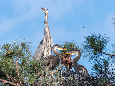 Great Blue Heron Nest June 2018-8966