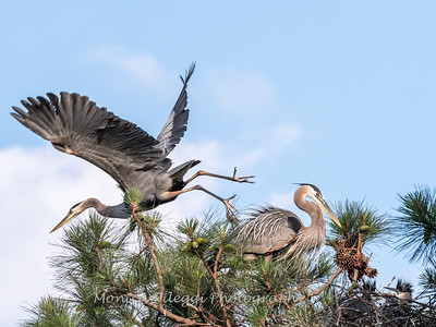 Great Blue Heron Nest June 2018-8915