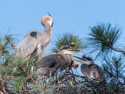 Great Blue Heron Nest June 2018-8937