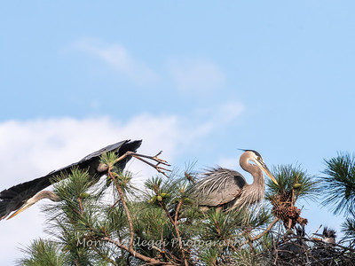 Great Blue Heron Nest June 2018-8916