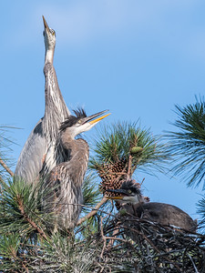Great Blue Heron Nest June 2018-8958