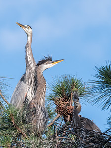 Great Blue Heron Nest June 2018-8959
