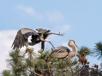 Great Blue Heron Nest June 2018-8914