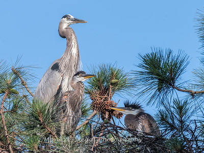 Great Blue Heron Nest June 2018-8954