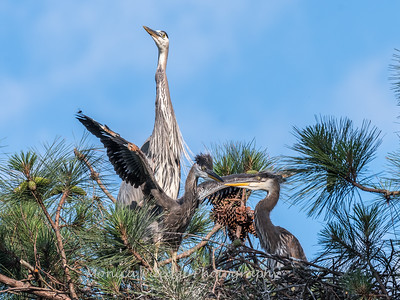 Great Blue Heron Nest June 2018-8967