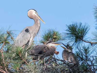 Great Blue Heron Nest June 2018-8932