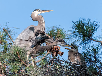 Great Blue Heron Nest June 2018-8949