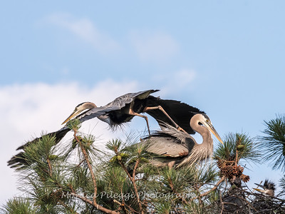 Great Blue Heron Nest June 2018-8913