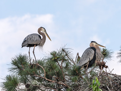 Great Blue Heron Nest June 2018-8907