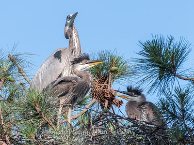 Great Blue Heron Nest June 2018-8950