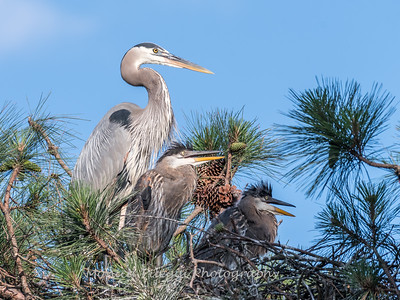Great Blue Heron Nest June 2018-8956