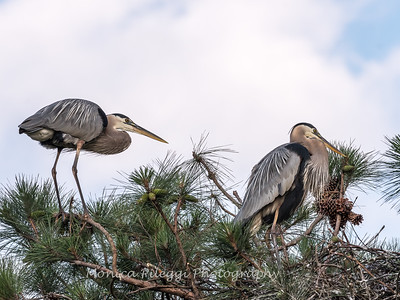 Great Blue Heron Nest June 2018-8908